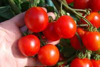 Small_red_tomatoes