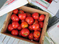Boxes-of-tomatoes